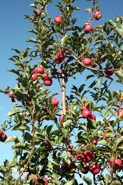 081109-apples-3