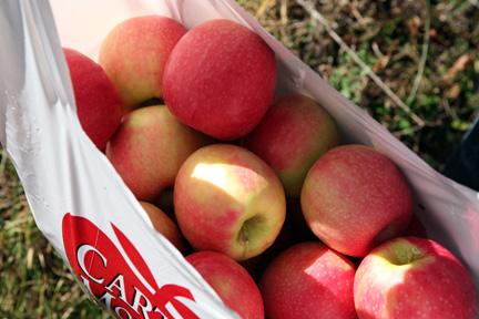 081109-apples-4
